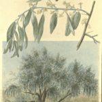 Ing. Ernst Kleiber zeichnet in Kriegsgefangenschaft die Natur Turkestans, item 7