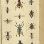 Kleiber Manuskript Bilder 02 - Insekten und Spinnen, item 21