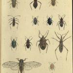 Kleiber Manuskript Bilder 02 - Insekten und Spinnen, item 54